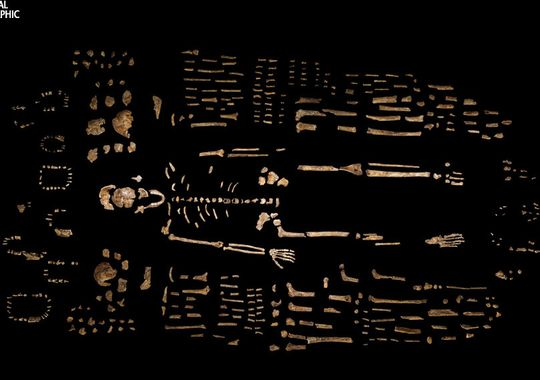 A composite skeleton of H. naledi is surrounded by some of the hundreds of other fossil elements recovered from the Dinaledi Chamber in the Rising Star cave in South Africa. The expedition team was led by National Geographic Explorer-in-Residence Lee Berger of the University of the Witwatersrand. (Photo: Robert Clark, National Geographic)