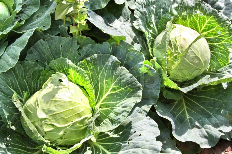 Eat and Lose Weight 10 Foods That Help Losing Weight Cabbage
